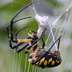 A Garden Spider wrapping up a stink bug. For more information about stink bugs… Weird Insects, Bugs And Insects, Beautiful Creatures, Animals Beautiful, Jacques Perrin, Garden Spider, Beautiful Bugs, Fauna, Pisces