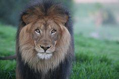 Beautiful lion <3