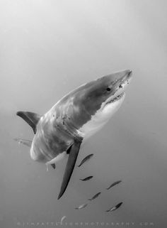 Great White Shark In Motion - Guadalupe Island, Mexico | Flickr - Photo Sharing!