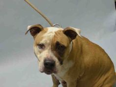 Brooklyn Center KELLY – A1085341 FEMALE, TAN / WHITE, AM PIT BULL TER MIX, 1 yr STRAY – STRAY WAIT, NO HOLD Reason STRAY Intake condition EXAM REQ Intake Date 08/14/2016, From NY 11417, DueOut Date 08/17/2016, I came in with Group/Litter #K16-069936.