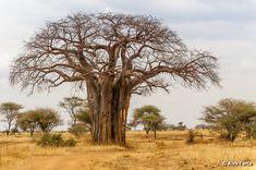 Baobab in Tarangire National Park
