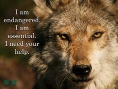 Defenders of Wildlife Shared Wolf Conservation Center Photo