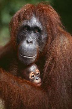 les regards de l orang-outang