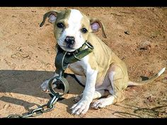 Howl of a Dog with Heavy Chain Around Neck Starving is Rescued - No Hope...