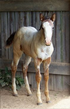 Pretty buckskin app foal