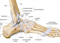 Anatomía Avanzada II