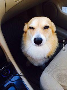 Suspicious corgi is suspicious.