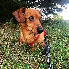 Ted Ky Adoptable Dachshunds Dachshund Rescue Rescue Dogs