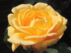 Rose orange, Roses - MonSitePhotos - MonSitePhotos