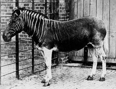This is the only photo of a Quagga, which is a subspecies of the plains zebra. They species became extinct shortly after.