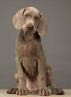 William Wegman weimaraner photography LOVE These dogs! Beautiful Dogs, Animals Beautiful, Cute Puppies, Dogs And Puppies, Dogs 101, Pet Dogs, Dog Cat, Doggies, Animals And Pets