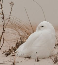 Snowy Owl, Long Island. Photograph by David Dillhoff.