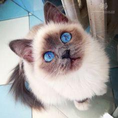 """From @francescacardia: ""Shine bright like Kim! Baby Kim's eyes on a sunny day look like precious stones!"" #catsofinstagram"""