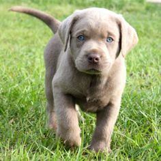Silver Labrador puppy - This almost convinces me that Will really does need a dog.
