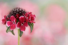 Summer Scabious by Mandy Disher Florals, via Flickr