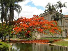 Flamboyant-laranja-ESALQ-Brasil