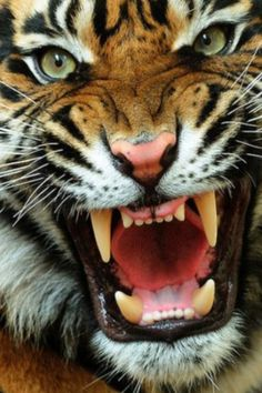 White Tiger Wallpapers Get Free Top Quality White Tiger Wallpapers