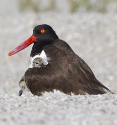 Black Oystercatcher with chick