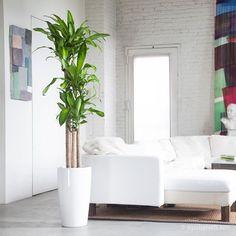 "Benefits: Ornamental. Air purifier. Botanical name: Dracaena fragrans ""Massangeana"". Light: Low to medium. No direct sun. Photo Credit: mycityplants.com"