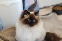 Top 15 most cutest cat breeds   Animals Ragdoll Cats