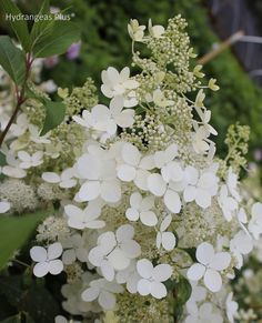 Hydrangea Paniculata Brussels Lace. I would love to have this one in my garden.