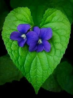 Good Cost-Free Violet flores Tips Because of their wonderfully processed wooly foliage, their particular stream-lined construction alo Amazing Flowers, Purple Flowers, Wild Flowers, Beautiful Flowers, Heart In Nature, Heart Art, Sweet Violets, Happy Heart, Pansies