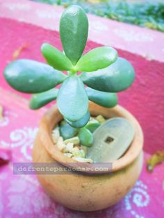 As boas vibrações da planta Jade, a árvore da fortuna ⋆ De Frente Para O Mar