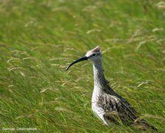 Galerie d'Ornithomedia.com : Courlis corlieu en Islande   Samuel Desbrosses a publié dans notre galerie plusieurs photos d'oiseaux prise en juillet en Islande avec un SONY alpha 200 + zoom 75 - 300, dont ce Courlis corlieu (Numenius phaeopus). #ornithologie #oiseaux #animaux #nature #islande
