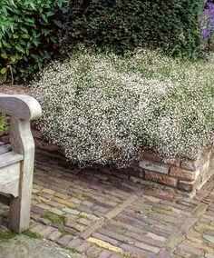 Gypsophila (Baby's Breath) | Plants from Bakker Spalding Garden Company
