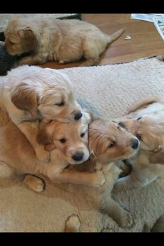 Natural Cures For Golden Retriever Ear Problems Home Remedies