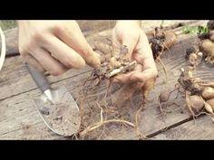 Jak rozmnożyć piwonię - YouTube Flowers, Youtube, Gardening, Lawn And Garden, Royal Icing Flowers, Flower, Youtubers, Florals, Youtube Movies