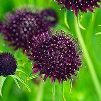 Scabieuse atropurpurea 'Chile Black'