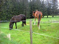 Koně na pastvě - Šumava