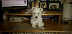 From Westie Rescue Hungary