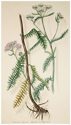 Margaret Rebecca Dickinson – Natural History Society of Northumbria Achillea Millefolium, Botanical Illustration, Botanical Prints, Natural History, Flower Prints, Tattoos, Gallery, Biology, Bees