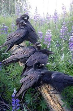 A different combination of wolf and crow: Ravens and Lupine (flower)...WHERE'S THE WOLF?