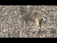 Whitetail Deer Doe Flags and Stomps warnings to the rest of the herd. Fishing for movement.                 Please Subscribe http://www.youtube.com/user/willcfish