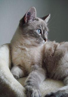 Lilou Lafayette - Cat - European Shorthair - Yummypets