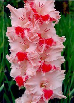Gladiolus 'Red Riding Hood'