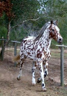 beautiful appy stallion