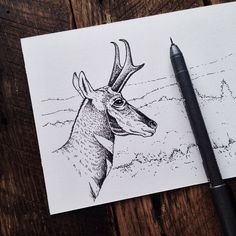 Drawing inspired by one of the many pronghorn we saw in the Lamar Valley.  #YellowstoneNationalPark #proghorn #illustration #FindYourPark by samlarson