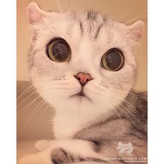 """From @hana__kitty: """"Can you see yourself in my eyes"""" #catsofinstagram"""