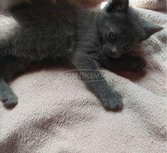 orosz kék cicalány Animals, Animales, Animaux, Animal, Animais
