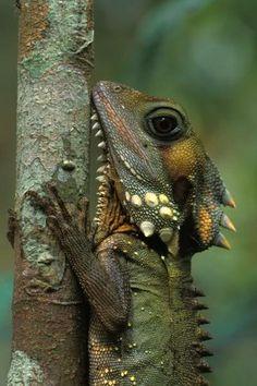**Hypsilurus boydii (Boyd's Forest Dragon)