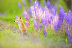 <b>Flower Fox</b> - On one spring day, he took a nap. After that, he appeared from a flower nest.