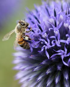 honeybee_on_echinops_ruthenicus
