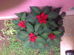Flores de Nochebuena