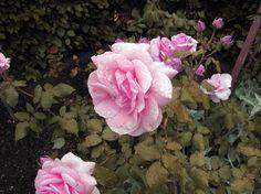 Pink Rose from Winston Churchills garden.