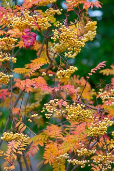 "tinnacriss: ""Autumn leaves and berries Sorbus 'Joseph Rock' (by Four Seasons Garden) "" Seasons Of The Year, Four Seasons, Mountain Ash Tree, Autumn Garden, Belle Photo, Garden Inspiration, Beautiful World, Autumn Leaves, Autumn Fall"