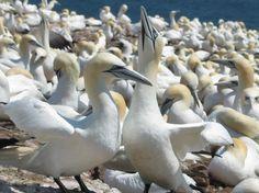 The gannets of ile bonaventure